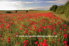 Poppy flower fields, near Ely City, Fenland