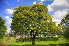 A Spring Oak Tree near Bakewell