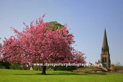 Cherry Tree and St Peters church, village of Edensor