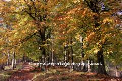 Autmun Beech Trees Upper Derwent Valley