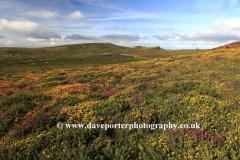 Gorse and Heather, Ripon Tor Rocks, Dartmoor