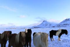 Icelandic Ponies in snow, near Akranes town