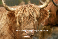 Highland Cattle, Isle of Mull