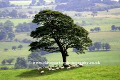 Sheep under a tree Upper Hulmer, near Leek