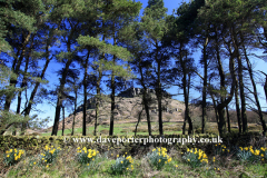 Daffodils with Hen Cloud rocks
