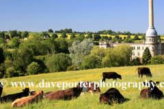 Summer, August, July, cows near Bliss Tweed Mill, Chipping Norton village, Oxfordshire Cotswolds; England; UK