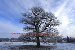 Hoare frost winter scene, Oak Tree (Rockingham Forest