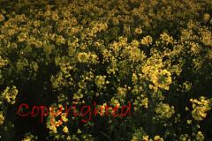 Yellow Rapeseed pattern