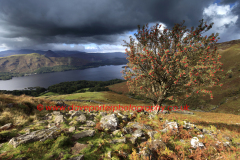 A Rowan Tree, ( Sorbus aucuparia ) on Ashness fell, Lake District National Park, Cumbria County, England, UK.
