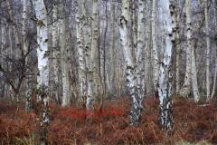 Silver-Birch Trees, Holme Fen