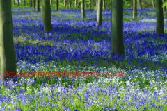 Spring Bluebell Woodland