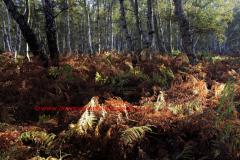 Ferns and Bracken autumn colours, Holme Fen