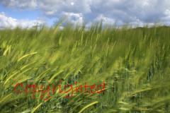 Blurred Barley fields, Nene valley, Peterborough, Cambridgeshire