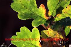 English Oak tree leaves in autumn colours, (Quercus robur)