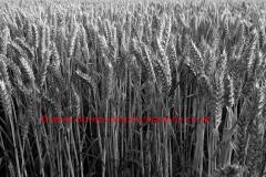 Summer ripening Wheat fields, Norfolk County, England; Britain; UK