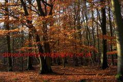 Autumn, Woodland, Lyndhurst, New Forest, England