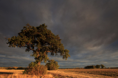 Sunset over a tree, Fenland field, near March, Cambridgeshire