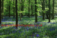 Backlit Bluebell woodland in the National Forest country park, Leicestershire