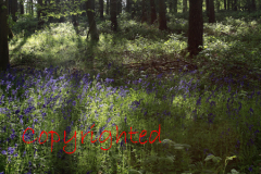 Backlit Bluebell woodland in the Sherwood Forest country park, Nottinghamshire