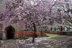 Cherry Tree, St Georges Church, Stamford Town, Lincolnshire