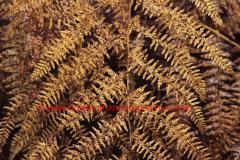 Fern, Bracken in autumn colours (Pteridium aquilinum) one of the commonest species of fern.