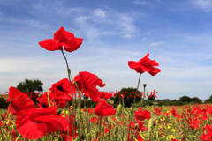 Fields of common Poppy flowers Papaver rhoeas near Dereham town, Norfolk