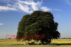 Beech Tree in a Summer Fenland field