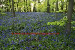 Spring woodland, Old Warden Warren