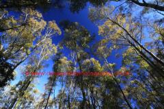 Silver Birch trees with autumn colours (Betula pendula)