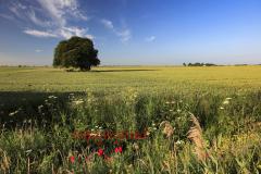 Beech Tree in a Summer Fenland field, near March, Cambridgeshire
