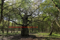 Ancient Great Oak Trees, Spring Green Woodland