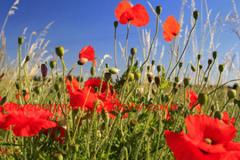 Poppy fields, near Wisbech town, Cambridgeshire, England, UK