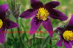 Pasque Flowers, Barnack, Cambridgeshire.