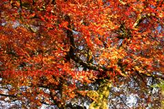 Autumn Beech Tree Woodland, Sherwood Forest, Nottinghamshire
