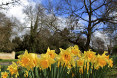 Spot coloured Spring Daffodils