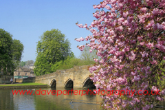 Spring Cherry Tree Blossom, river Wye, Bakewell