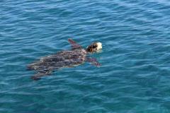 Loggerhead Turtle in the sea at Laganas, Zante